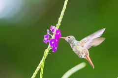 Hummingbird, Colibri thalassinus, beautiful green blue hummingbird from Central America hovering in front of flower background in. Hummingbird, or Colibri royalty free stock image