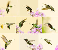 Hummingbird collage. Royalty Free Stock Images
