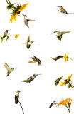 Hummingbird collage. Royalty Free Stock Photos