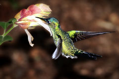 A male violet-capped woodnymph hummingbird collecting nectar. A male violet-capped wood nymph collecting nectar, a type of hummingbird, taken by Iguassu Falls Royalty Free Stock Photos
