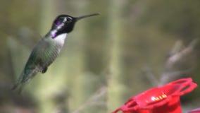 Hummingbird. A colorful hummingbird at a backyard feeder stock footage