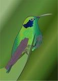 Hummingbird. Colorful exotic hummingbird in green vector illustration
