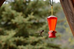 Hummingbird Comes to Feeder Stock Image