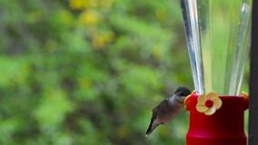 Hummingbird coming in to a feeder. Ruby-throated hummingbird drinking from a feeder stock footage