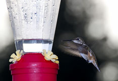 Hummingbird Coming To Feeder At Twilight Royalty Free Stock Photos