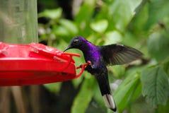 Hummingbird in Costa Rica Royalty Free Stock Photos