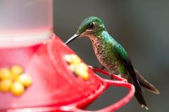 Hummingbird in Costa Rica Stock Photos