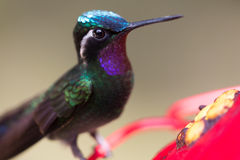 Hummingbird in Costa Rica Stock Photo