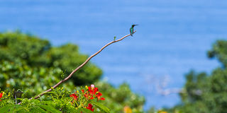 Hummingbird in Costa Rica Royalty Free Stock Photography