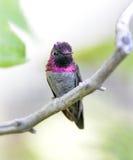 Hummingbird,costas male on branch,phoenix,arizona, stock photography