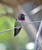 Hummingbird,costas male on branch,phoenix,arizona,. Male costas hummingbird on branch, phoenix, arizona, united states. close up of exotic small bird against stock photography
