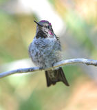 Hummingbird,costas male on branch,phoenix,arizona, Royalty Free Stock Photos