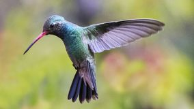 Hummingbird dalej komarnica 16 - - obrazy stock