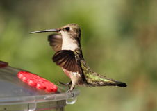 Hummingbird Dance. A black-chinned hummingbird that appears it is dancing on the feeder Stock Photography