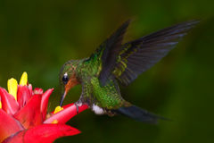 Hummingbird in dark green forest, hummingbird Green-crowned Brilliant, Heliodoxa jacula, green bird from Costa Rica flying next to. Beautiful flower Royalty Free Stock Image