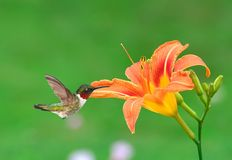Hummingbird At A Daylily. A male Ruby- throated Hummingbird at an orange daylily Stock Image