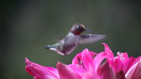 Hummingbird in deep pink lilies Stock Photo