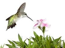 Hummingbird and Dianthus Stock Photos