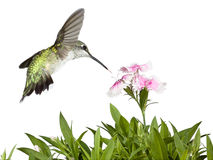 Hummingbird and Dianthus Stock Photos