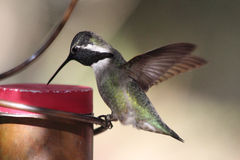 Hummingbird Dips Beak In Feeder Royalty Free Stock Image