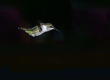 Hummingbird Dive Stock Photos