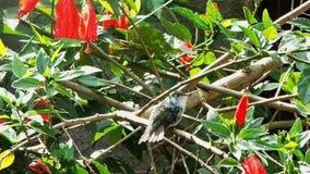 Hummingbird doskakiwanie i stojak zdjęcie wideo