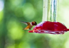 Hummingbird Drinking Royalty Free Stock Photography