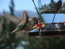 Hummingbird Drinking. Female Ruby-throated hummingbird drinking from feeder Royalty Free Stock Photo