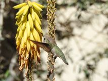 Hummingbird Drinking from Aloe Vera Flowers. Hummingbird drinking nectar from yellow aloe vera flowers while flying in spring Royalty Free Stock Photo
