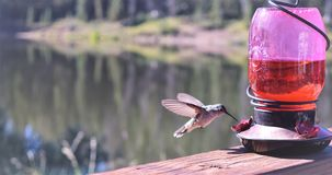 Hummingbird. Drinking from a bird feeder Stock Image