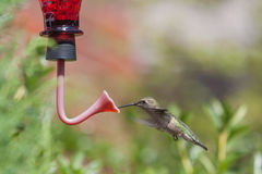 Hummingbird drinking. Close up offemale Ruby throated Hummingbird flying at feeder, drinking sweet nectar from trumpet opening Royalty Free Stock Photos