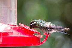 Hummingbird drinking from a container Royalty Free Stock Photos