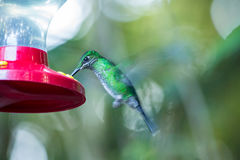 Hummingbird drinking from a container Royalty Free Stock Image