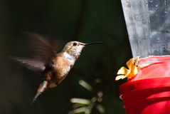 Hummingbird Drinking From a Feeder Stock Photo