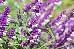 Hummingbird drinking from mexican sage flowers. One ruby throated hummingbird in flight hovering in purple Mexican Sage flower bushes. It is by far the most royalty free stock photo