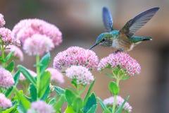 Hummingbird Drinking Nectar  Stock Photo