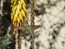 Hummingbird Drinking from Aloe Flowers. Hummingbird drinking nectar from yellow aloe flowers while flying in spring Stock Photos