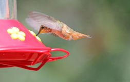 Hummingbird drinking sweet water Stock Image