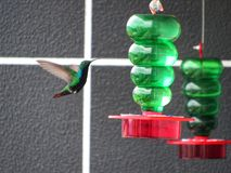 hummingbird drinking water in drinking fountain Stock Photography
