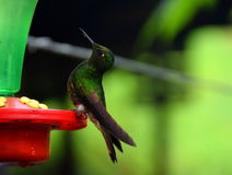 A hummingbird drinking water. A hummingbird drinks water in the Hummingbird Sanctuary in Cocora Valley, Colombia Stock Photos