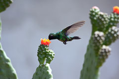 Hummingbird eating Stock Photography