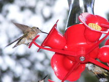 Hummingbird Eating from a Red Feeder Stock Photos
