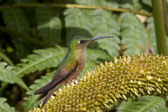 Hummingbird - Ecuador stock images