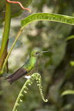 Hummingbird - Ecuador Royaltyfria Bilder