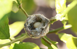 Hummingbird eggs Royalty Free Stock Photos
