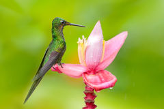Hummingbird Empress Brilliant, Heliodoxa imperatrix, sitting on  beautiful pink flower, Tatama, Colombia. Wildlife scene from trop Royalty Free Stock Images