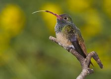 Hummingbird extending tongue Stock Images