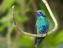 Hummingbird för Sparkling Violetear Arkivfoton
