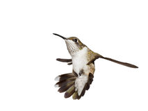 Hummingbird falls backwards, wings spread open