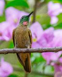 Hummingbird stock photography